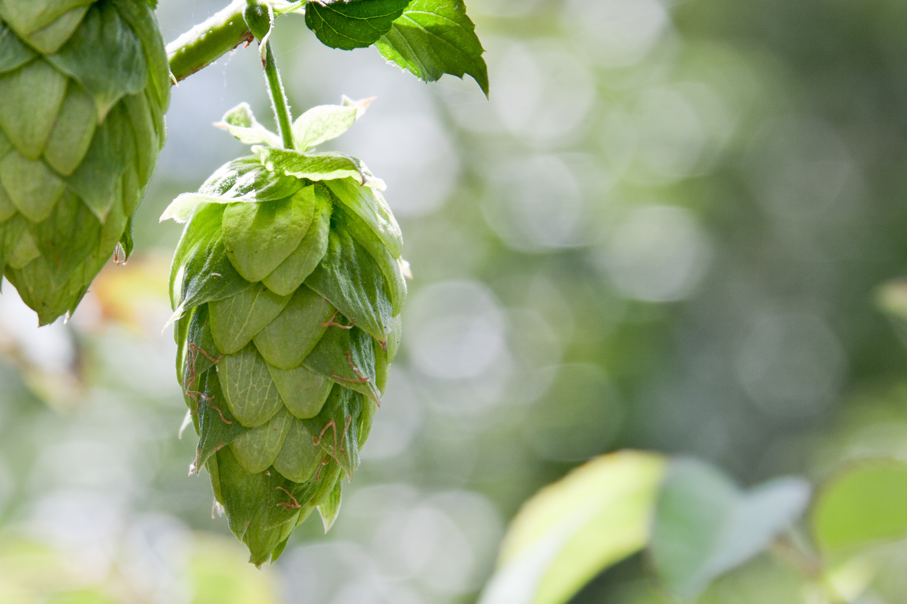 Why Brewers Are Turning Their Attention to Single-Hop Beers