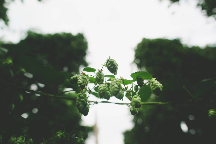 What the Grape Vine Can Teach Us About Beer